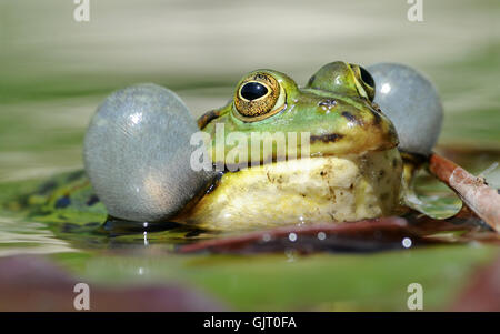 croaking frog water - Stock Photo