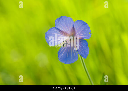 blue bloom blossom - Stock Photo