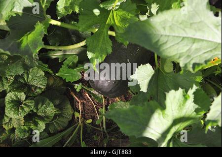 Big and ripe zucchini in the garden. - Stock Photo