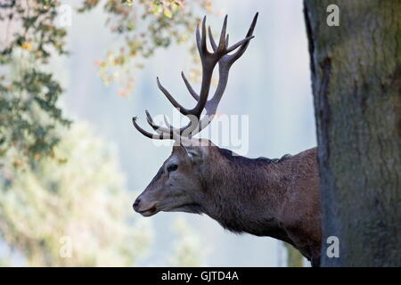 deer stag hart stag - Stock Photo