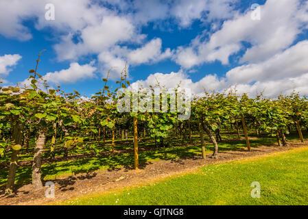 Kiwi fruit (Actinidia deliciosa) plantation, New Zealand - Stock Photo