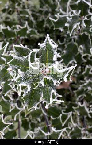 Holly Bush in Winter with frost - Stock Photo