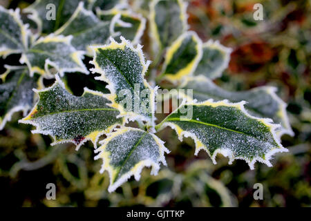 Close-up view of frost covered Holly leaves - Stock Photo