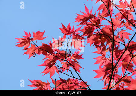 Backlit Japanese Maple (Acer palmatum) red foliage leaves seen against a blue sky in sunshine from below. England, - Stock Photo
