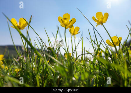 Worm's-eye view of yellow Meadow Buttercups (Ranunculus acris) flowers growing in lawn grass backlit by sunlight - Stock Photo