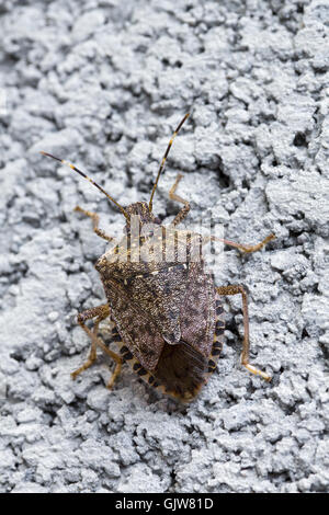 Close-up of brown adult Marmorated Stink Bug crawling up concrete wall. - Stock Photo