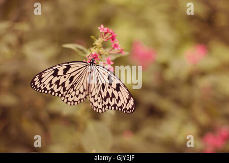 A White Tree Nymph butterfly is feeding on a pink flower blossom - Stock Photo