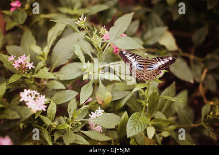 A blue clipper butterfly that has landed on a bush with flowers. - Stock Photo