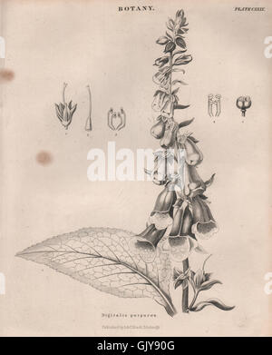 Digitalis purpurea (common foxglove, purple foxglove, lady's glove), 1860 - Stock Photo