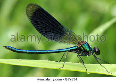 male masculine dragonfly - Stock Photo