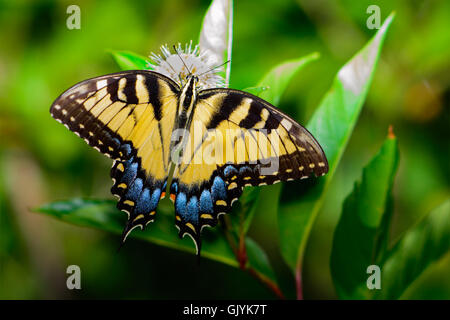 Eastern tiger swallowtail (Papilio glaucus) butterfly with vivid blue yellow and black. Top View - Stock Photo