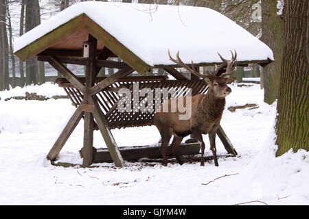 mammal male deer Stock Photo