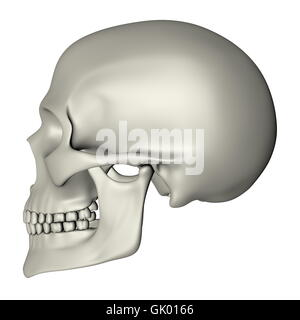 Human Skull - Side View - Stock Photo