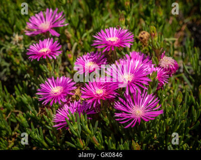 Violet aster flowers photographed in Canary Islands, Spain - Stock Photo