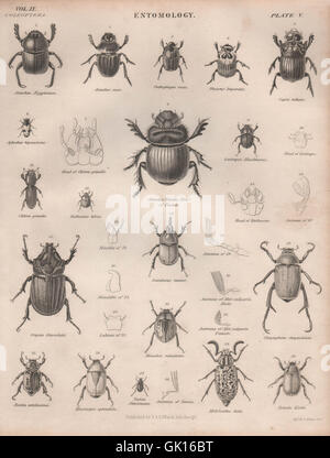 ENTOMOLOGY 5. Insects beetles. BRITANNICA, antique print 1860 - Stock Photo