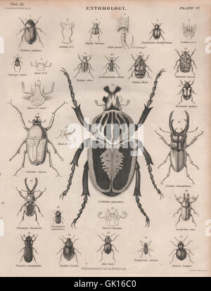 ENTOMOLOGY 6. Insects beetles. BRITANNICA, antique print 1860 - Stock Photo
