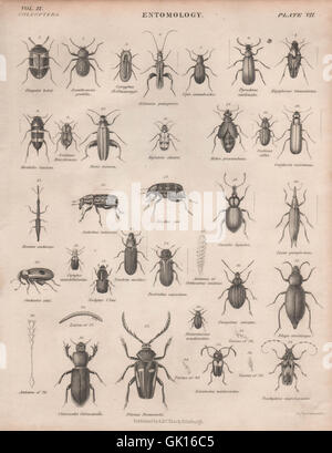 ENTOMOLOGY 7. Insects beetles. BRITANNICA, antique print 1860 - Stock Photo