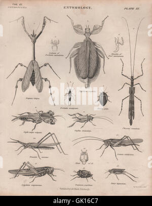 ENTOMOLOGY 9. Beetles grasshoppers locusts stick insects. BRITANNICA, 1860 - Stock Photo