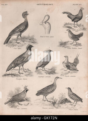 Curassow. Junglefowl. Satyr tragopan. Crowned Pheasant. Sandgrouse. Tinamou 1860 - Stock Photo