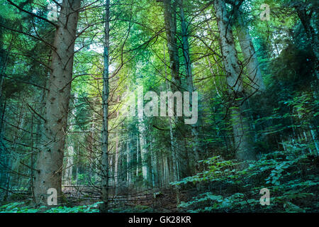 coniferous forest landscape in summer - Stock Photo