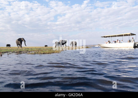 Tourists watch elephants  (loxodonta africana) grazing whilst game viewing on safari boats on the Chobe river Botswana - Stock Photo