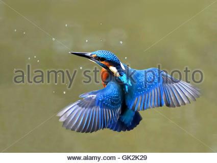 kingfisher in flight - Stock Photo