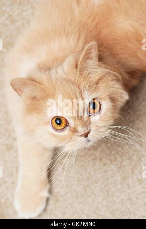 animal pet cat baby - Stock Photo