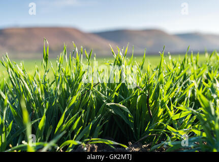 Young wheat seedlings growing in a soil - Stock Photo