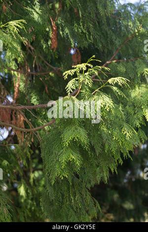 Japanischer Lebensbaum, Japan-Lebensbaum, Thuja standishii, Japanese Thuja, nezuko, kurobe, Le thuya du Japon - Stock Photo