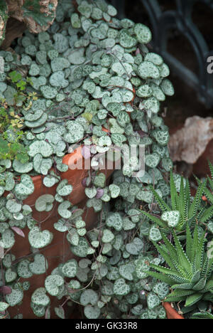 Ceropegia  woodii,String of Hearts, Rosary Vine - Stock Photo