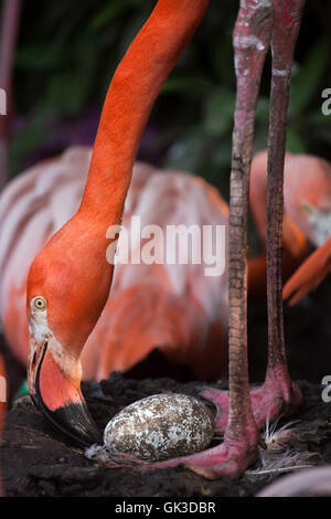 Caribbean flamingo (Phoenicopterus ruber), also known as the American flamingo inspects its eggs in the nest at - Stock Photo