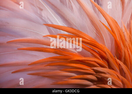 Caribbean flamingo (Phoenicopterus ruber), also known as the American flamingo. Plumage texture. - Stock Photo