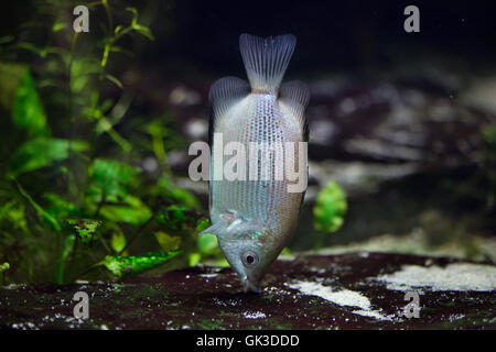 Kissing gourami (Helostoma temminckii), also known as the kissing fish. Wildlife animal. - Stock Photo
