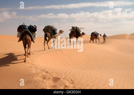 camel trekking through erg orientale - Stock Photo