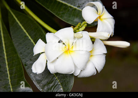 Frangipani flowers. Scientific name: Plumeria obtusa. Hoi An, Quang Nam Province, Vietnam. - Stock Photo