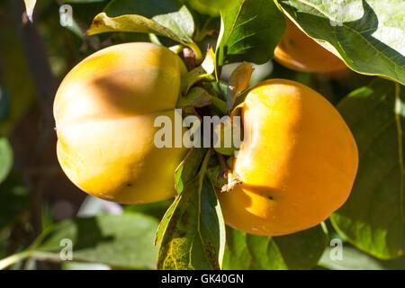 Couple persimmon fruits in garden. Ripe, orange pair on tree - Stock Photo