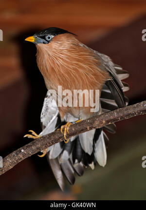 Pagoda Starling (sturnia pagodarum) also known as Pagoda Myna and Brahminy Myna - Stock Photo