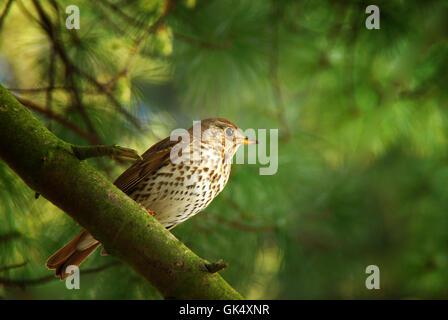 bird birds thrush Stock Photo