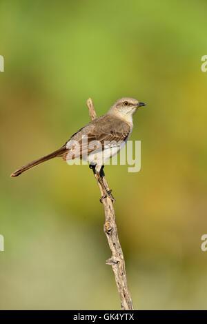 Northern Mockingbird (Mimus polyglottos), Rio Grande City, Texas, USA - Stock Photo