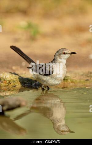 Northern Mockingbird (Mimus polyglottos) wading and bathing, Rio Grande City, Texas, USA - Stock Photo