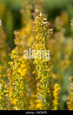 medicinal plant goldenrod bloom - Stock Photo