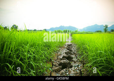 the Green rice in the field rice background - Stock Photo
