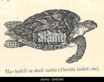 35320 Hawksbill or Shell Turtle (Caretta imbricata) - Stock Photo