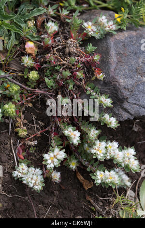 Paronychia argentea (Algerian Tea) flowers - Stock Photo