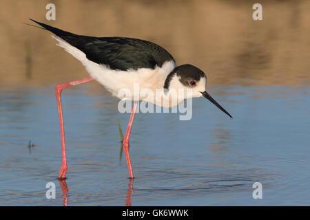 Black-winged Stilt (Himantopus himantopus) - Stock Photo