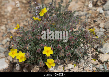 Hoary Rockrose (Helianthemum canum) - Stock Photo