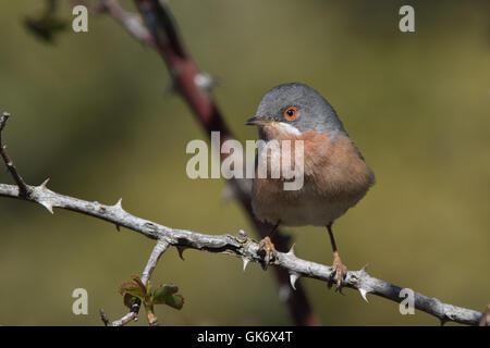 male Western Subalpine Warbler (Sylvia cantillans cantillans) - Stock Photo