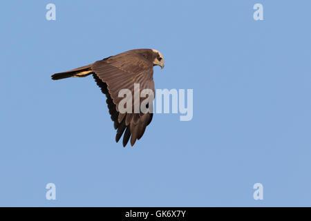 female Western Marsh-Harrier (Circus aeruginosus) in flight - Stock Photo