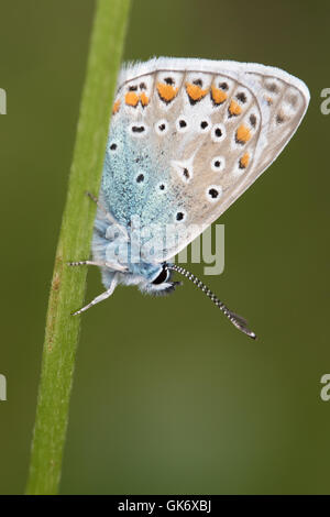 Common Blue (Polyommatus icarus) roosting on a grass-stem - Stock Photo