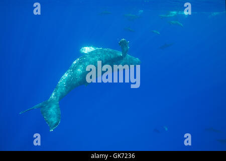 juvenile female humpback whale, Megaptera novaeangliae, swimming upside-down and cavorting with Hawaiian spinner - Stock Photo